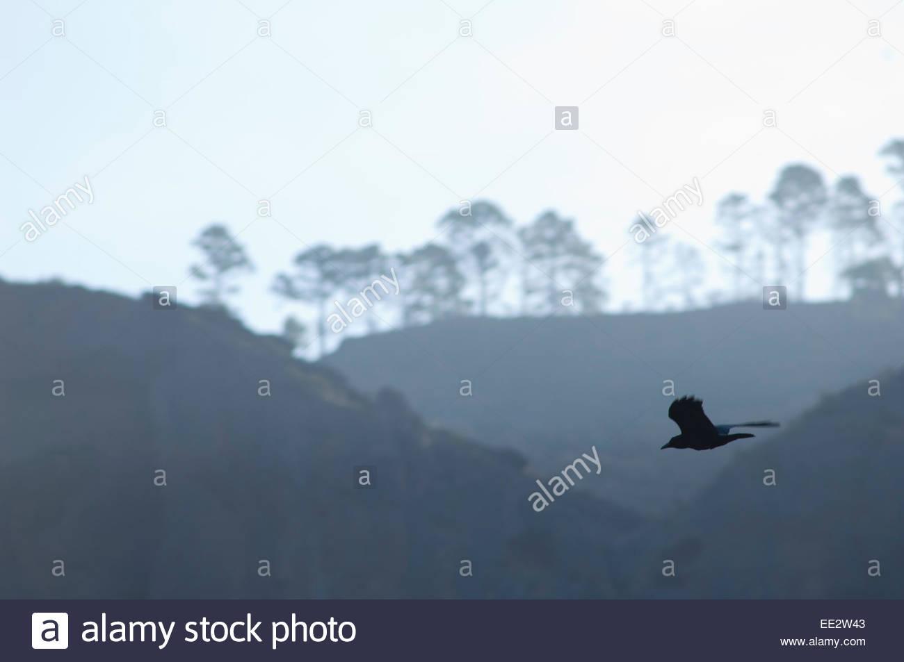 Kolkrabe (Corvus Corax Canariensis) im Flug. Der Naturpark Nublo. Mogán. Gran Canaria. Kanarischen Inseln. Stockbild