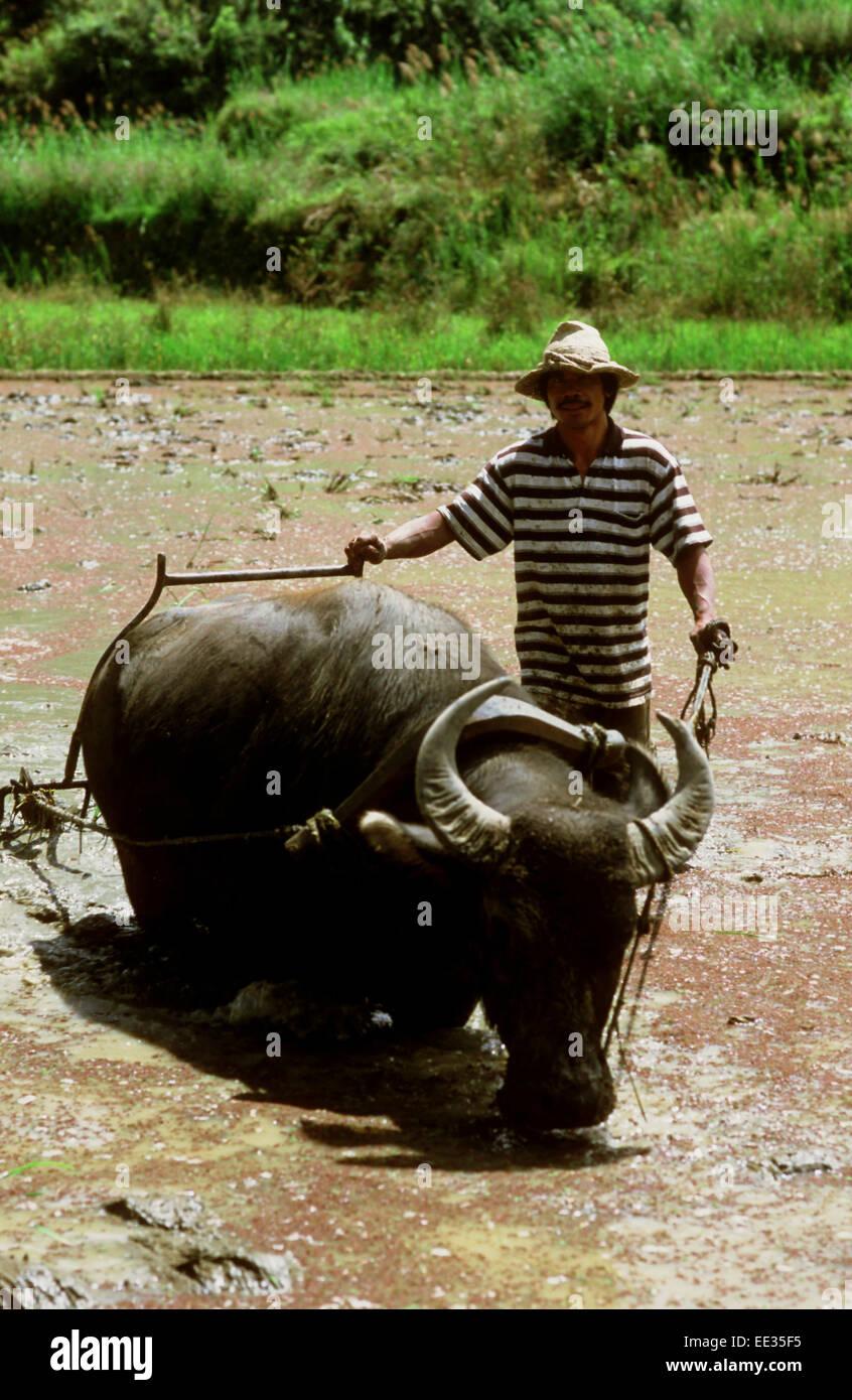 Bauer mit Ochse. Reisfelder. Sagada. Cordillera Central. Luzon. Philippinen. Von Banaue fahren Sie weiter, Sagada Stockbild