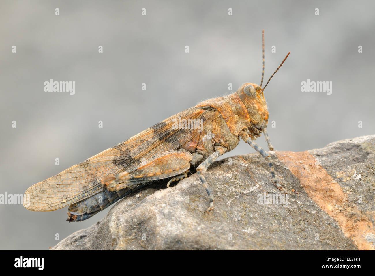 Blau-geflügelte Heuschrecke [Oedipoda Caerulescens], Deutschland Stockfoto