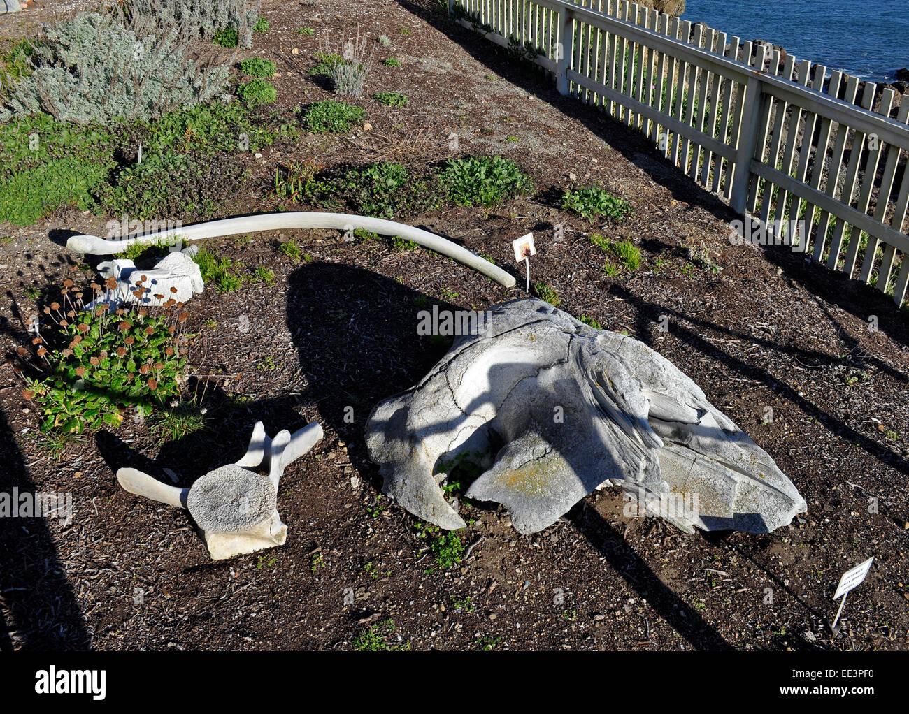 Whale Skull Stockfotos Whale Skull Bilder Alamy
