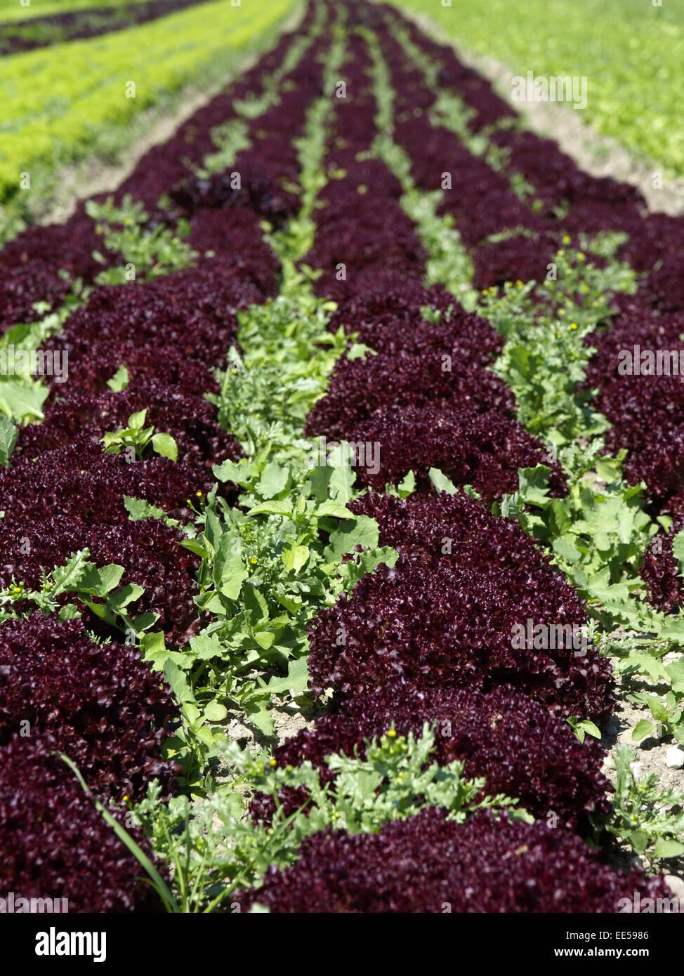 salat lollo rosso salatfeld biologischer anbau salatanbau detail kopfsalat feld pflanzen. Black Bedroom Furniture Sets. Home Design Ideas