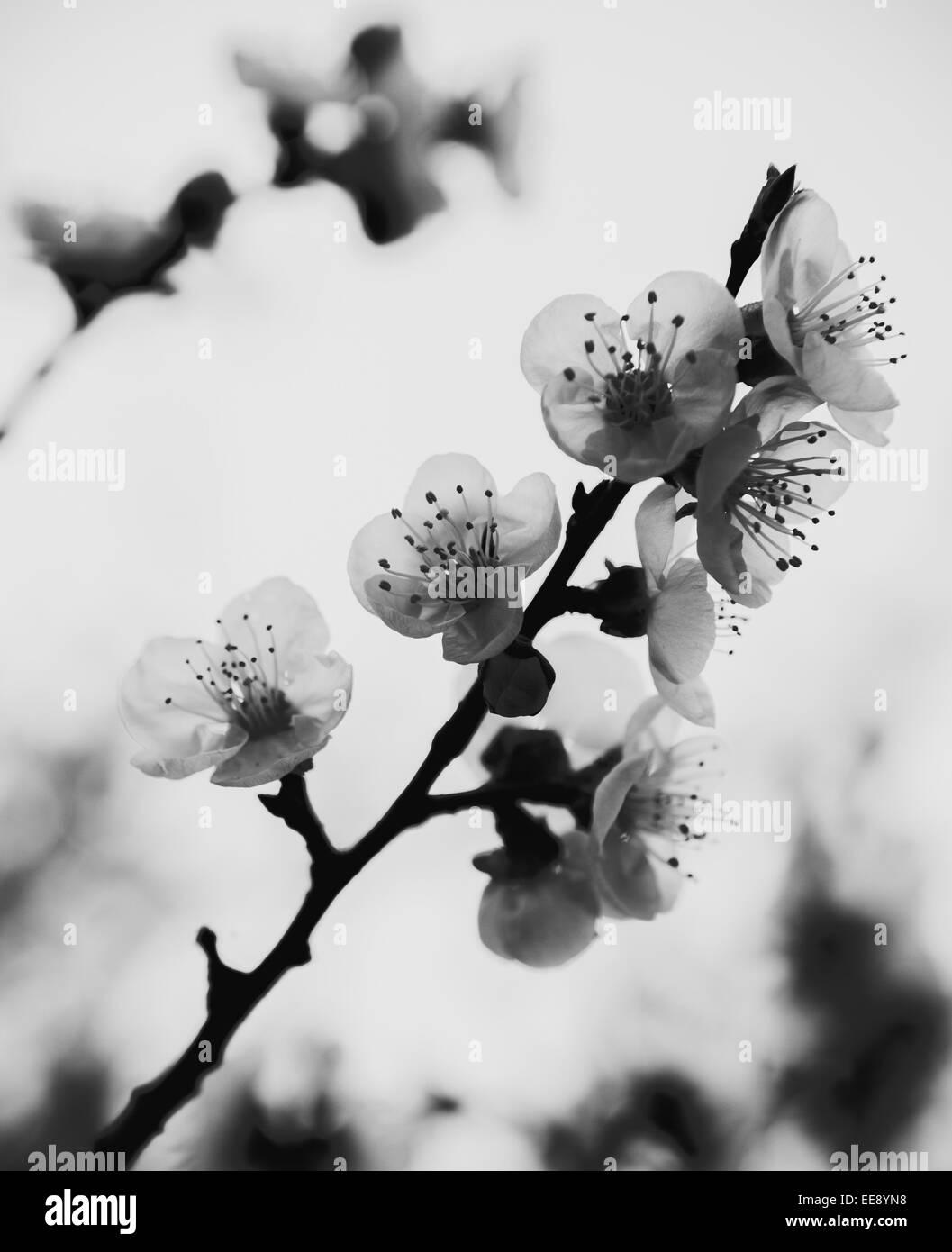 foto illustration von wei er orchidee bl ht in schwarz wei halbton stockfoto bild 77644036. Black Bedroom Furniture Sets. Home Design Ideas