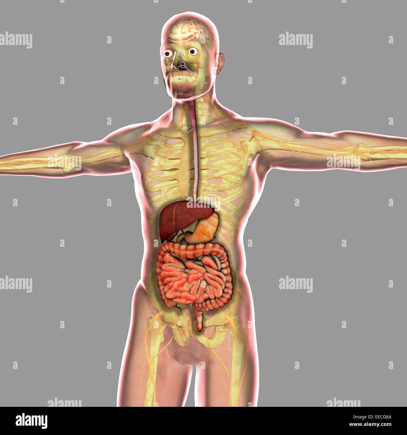 Berühmt Menschliche Anatomie Verdauungssystem Diagramm ...