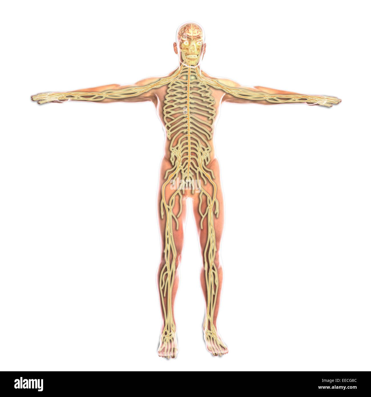 Human Arm Nerves Stockfotos & Human Arm Nerves Bilder - Alamy