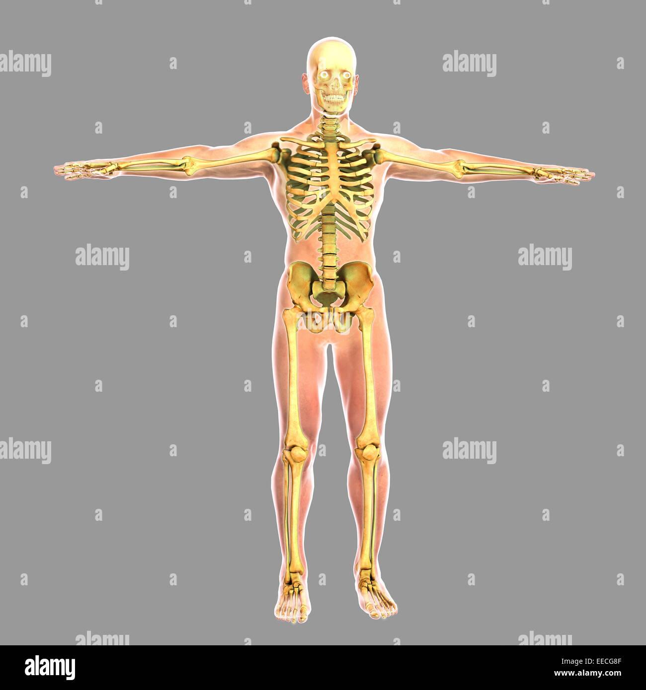 Beste Skelett Mit Muskeln Diagramm Zeitgenössisch - Physiologie Von ...
