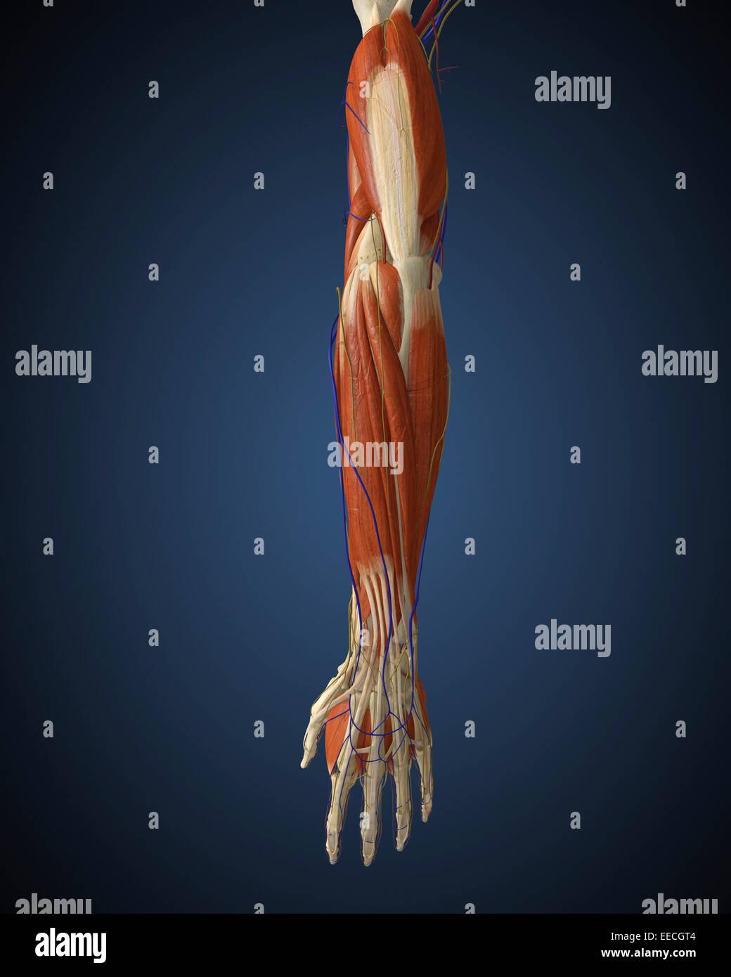 Menschlichen Arm mit Knochen, Muskeln und Nerven Stockfoto, Bild ...