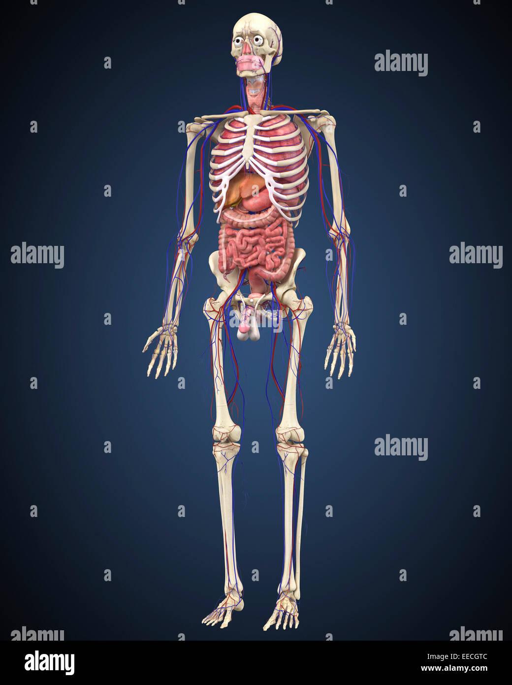 Menschliches Skelett mit Organen und Herz-Kreislauf-System Stockfoto ...