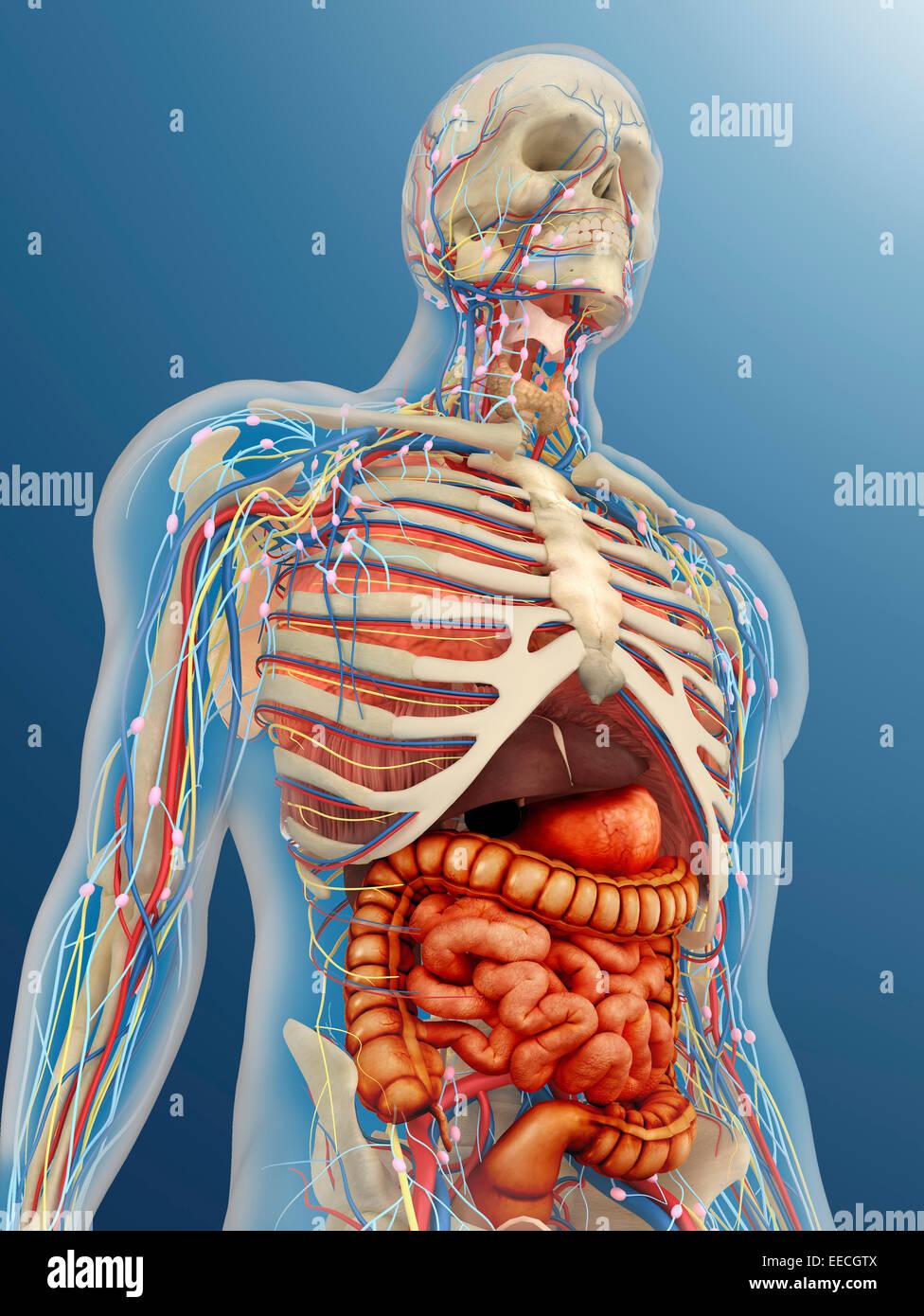 Transparente Körper mit inneren Organen, Nervensystem, Lymphsystem ...
