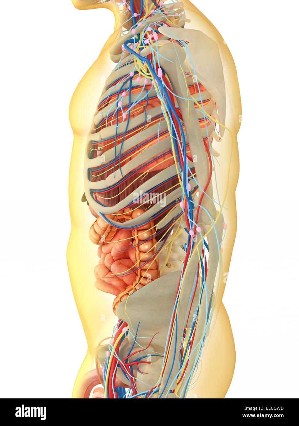 Charmant Herz Kreislauf System Organe Zeitgenössisch - Menschliche ...