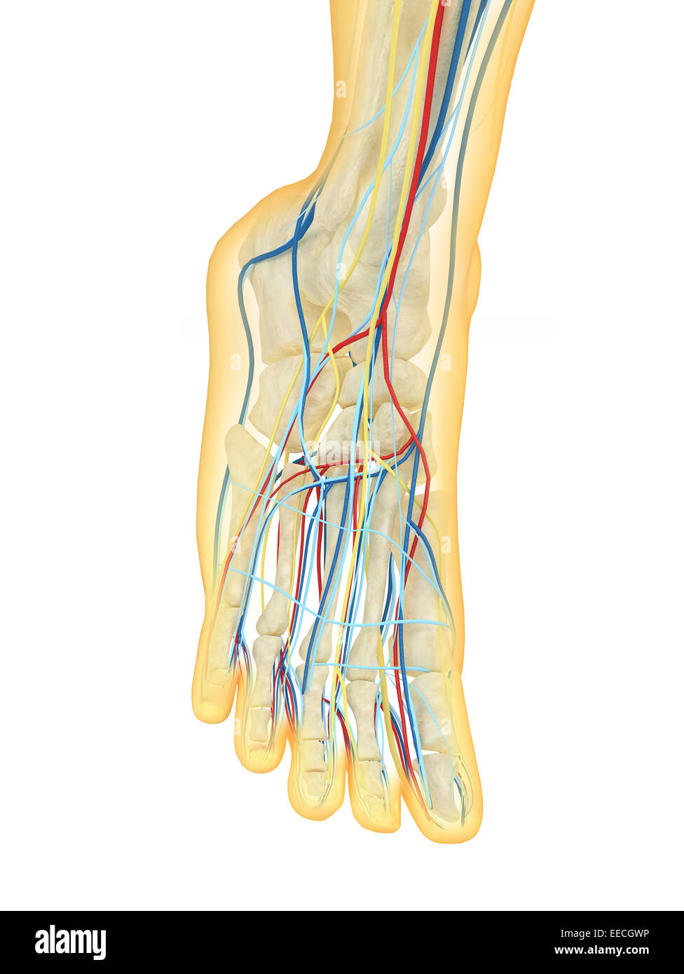 Menschlicher Fuß mit Nervensystem, Lymphsystem und Herz-Kreislauf ...