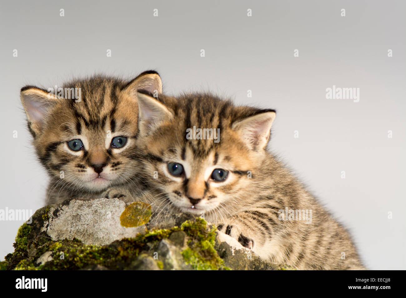 Paar von Tabby Kätzchen spielen im Freien, UK Stockbild