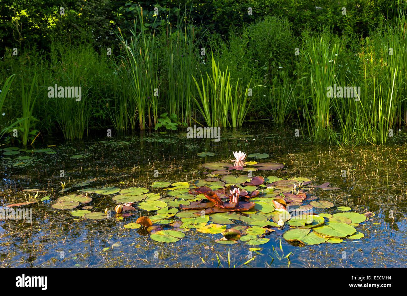 Zier-Lilien und Schilf im Teich Garten Tierwelt mit marginalen Pflanzen im Land Garten Sommer in Swinbrook, Cotswolds, Stockbild