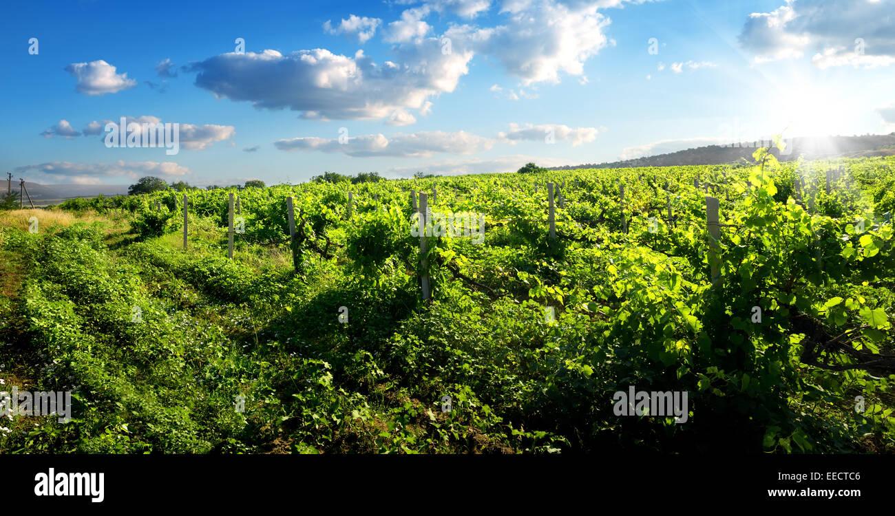 Schöne grüne Weinberg am sonnigen Sommertag Stockbild