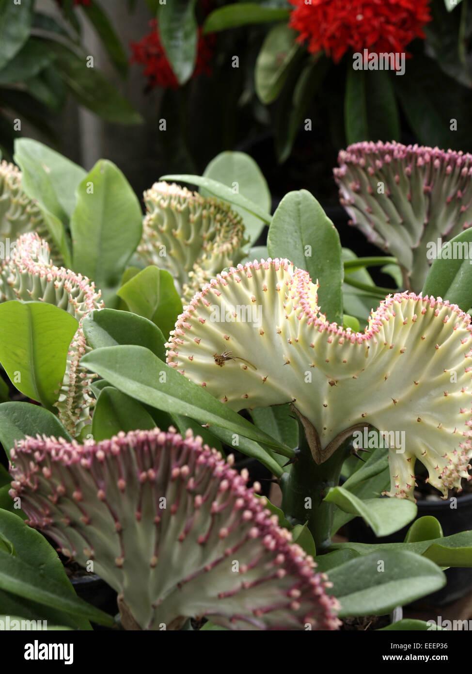 Thailand, Asien, Suedostasien, Reiseziel, Pflanze, Blatt, Blaetter Stockbild