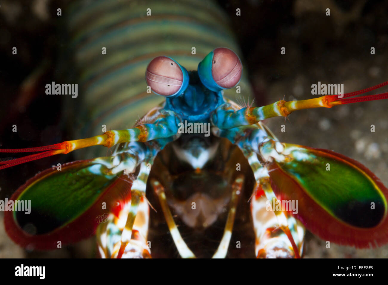 Fangschreckenkrebse, Odontodactylus Scyllarus, Ambon, Molukken, Indonesien Stockbild