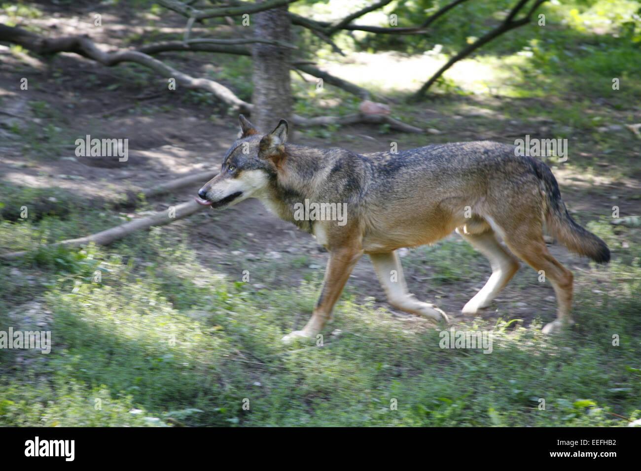 Prag, Tschechische Republik, Wald, Grauwolf, Canis Lupus, Natur, Tierwelt, Tier, Tiere, Saeugetier, Säugetier, Stockbild