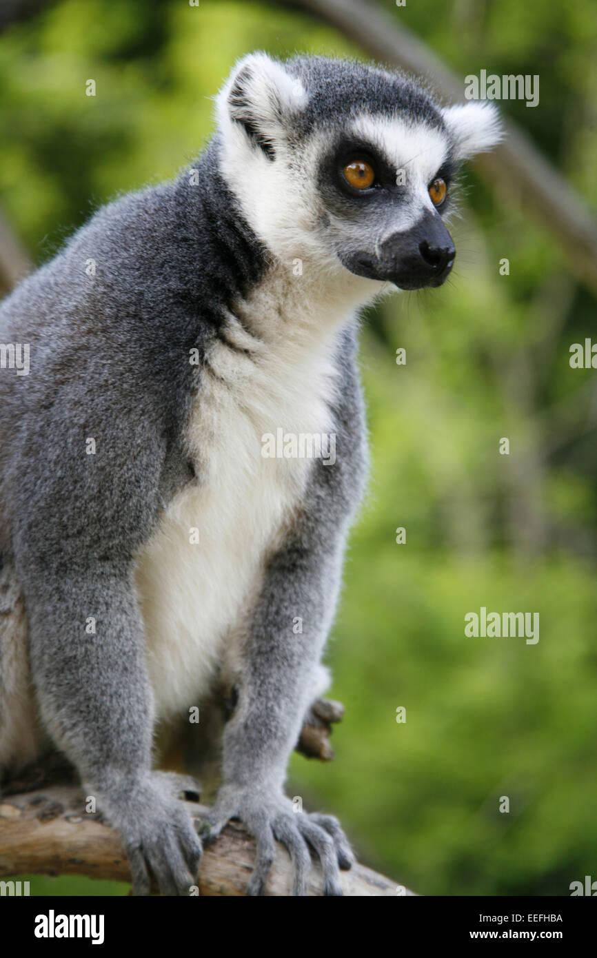Prag, Tschechische Republik, Katta, Lemur Catta, einer, Tierwelt, Gras, Tier, Tiere, Wildtier, Wildtiere, Saeugetier, Stockbild