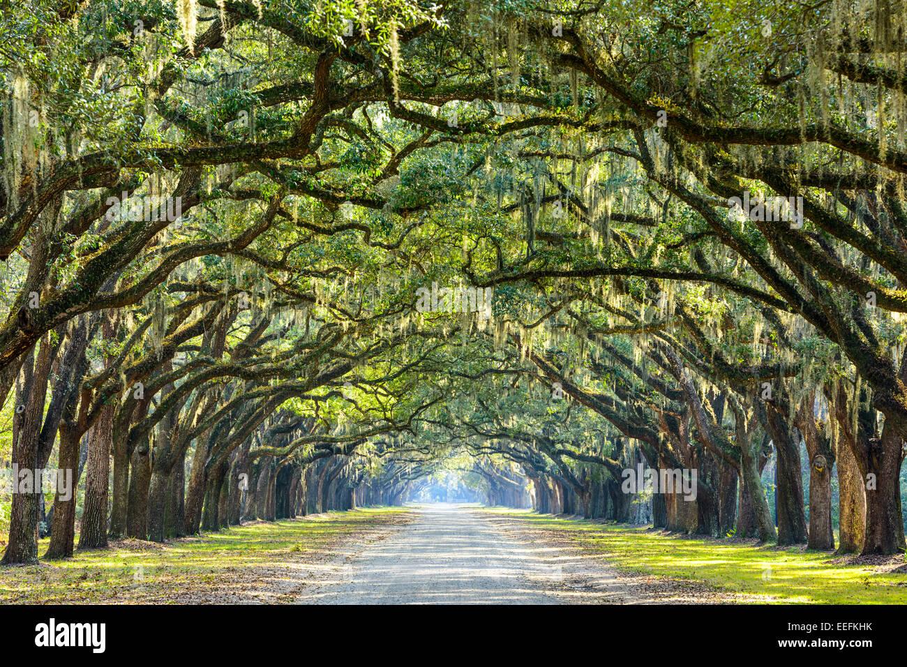 Savannah, Georgia, USA Eiche, von Bäumen gesäumten Straße im historischen Wormsloe Plantage. Stockfoto