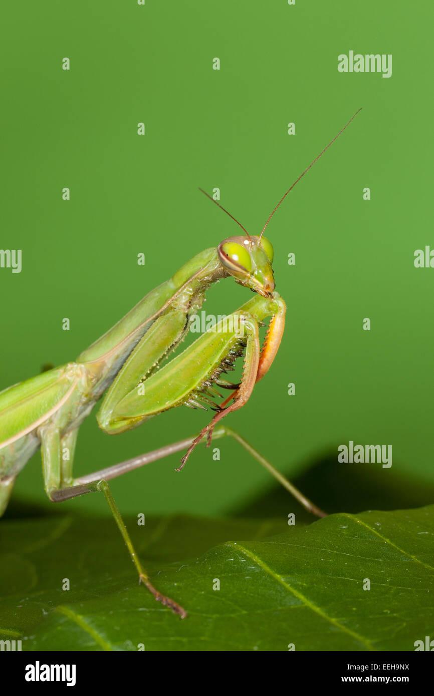 Gottesanbeterin, Gottesanbeterinnen, Mantes, Mantis, die Europäische Gottesanbeterin, Fangschrecke, Mantis Stockbild