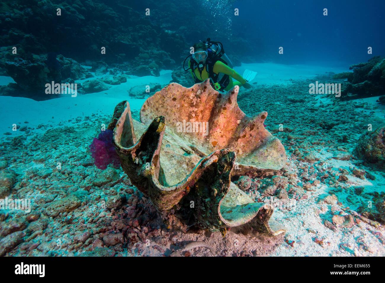 Taucher Beobachtet Eine Tote Moerdermuschel Oder Grosse Riesenmuschel, Tridacna Maxima, Palau, Mikronesien Stockbild