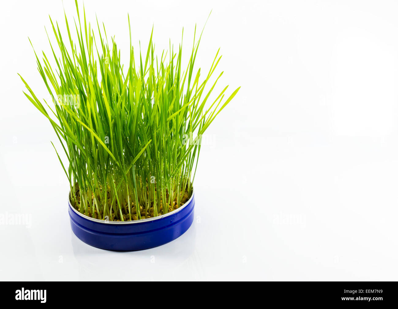 Grüne Blätter gekeimten Weizen Samen in einem blauen Aluminium können als ein traditionelles Symbol Stockbild
