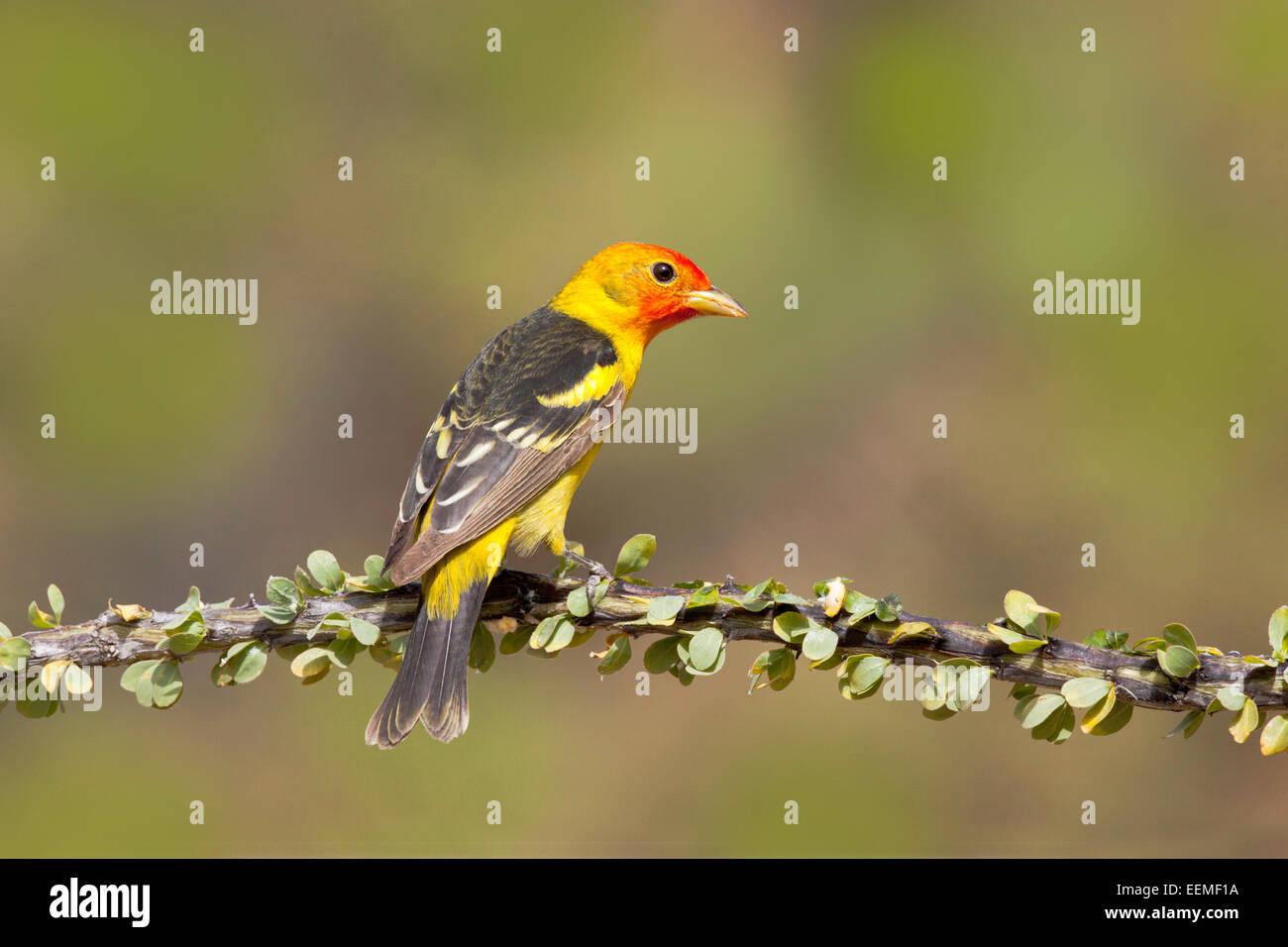 Western Tanager Piranga Ludoviciana Santa Rita Mountains, Pima County, Arizona, USA 18 kann erwachsenen männlichen Stockbild