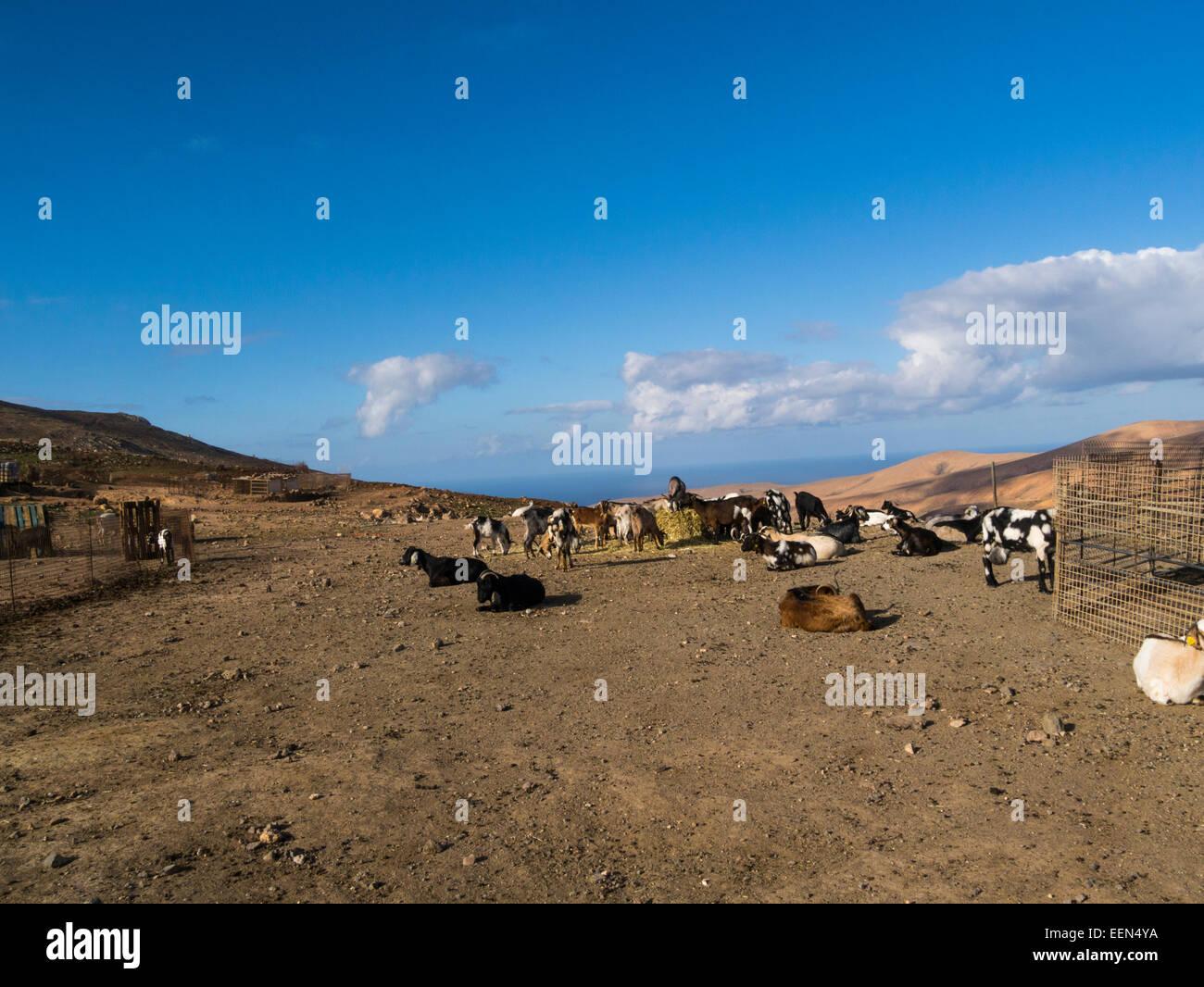 Tiere auf dem berühmten Käse Molkerei und Ziege Bauernhof namens Cumbres de Betancuria Fuerteventura Kanaren Stockbild