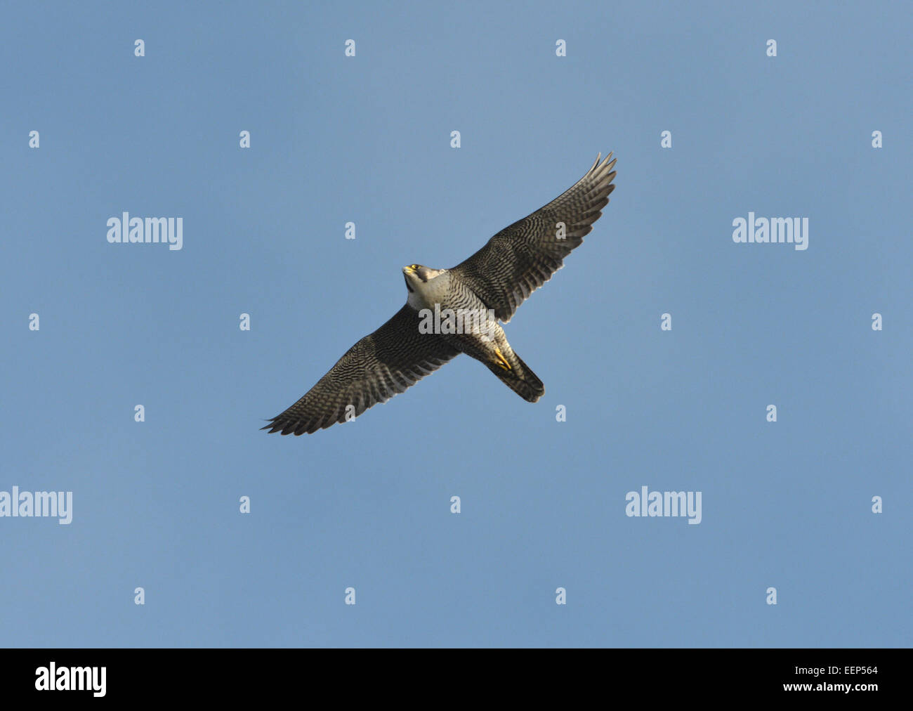 Peregrine - Falco peregrinus Stockfoto
