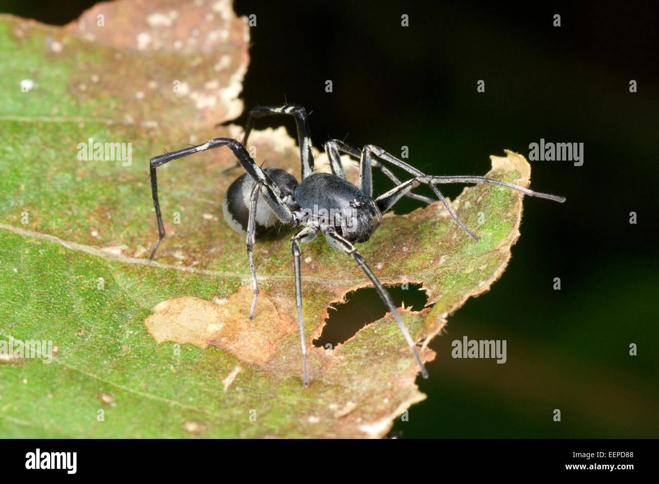 Ameise mimische Corinnid Sac Spider (Familie Corinnidae), Khao Yai Nationalpark, Thailand Stockbild
