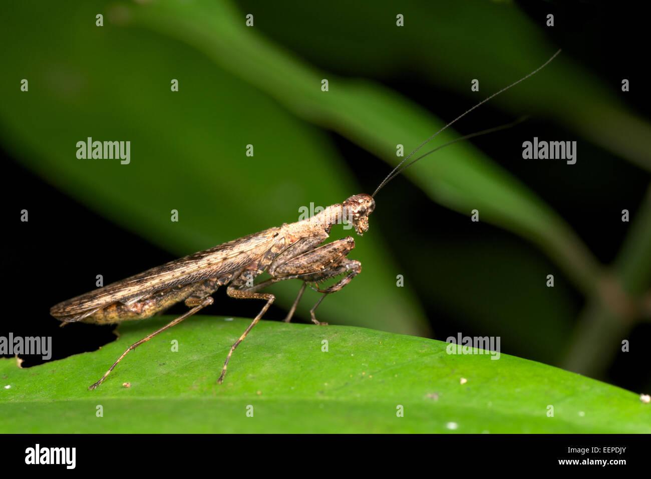 Humbertiella SP. Mantis, AKA Rinde Mantis in Pang Sida Nationalpark, Thailand. Stockbild