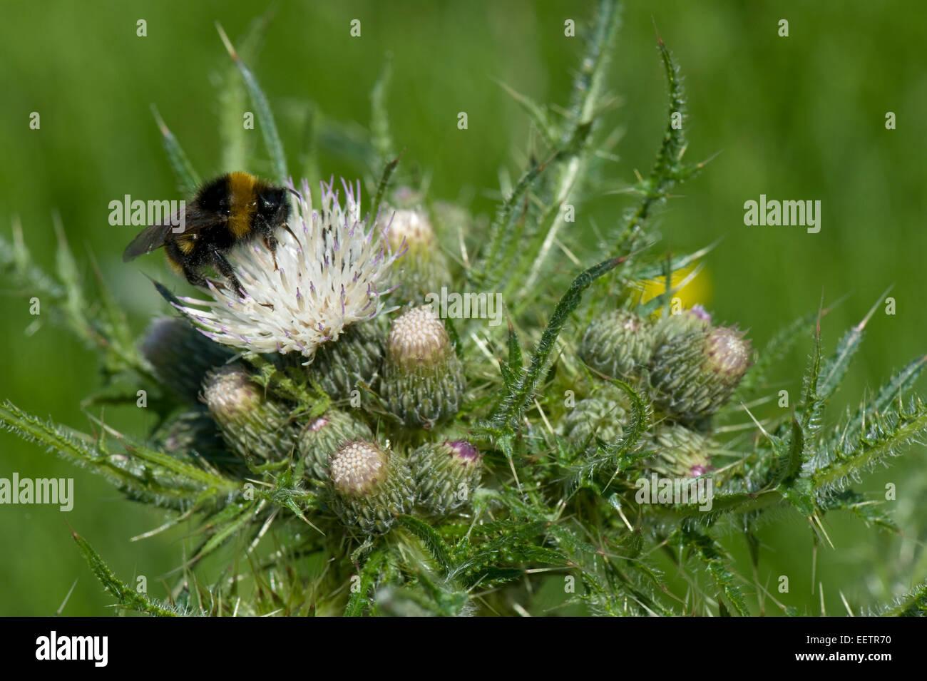 new products 059e3 96a65 Fett, Marsh Distel oder europäische Sumpf Distel, Cirsium ...