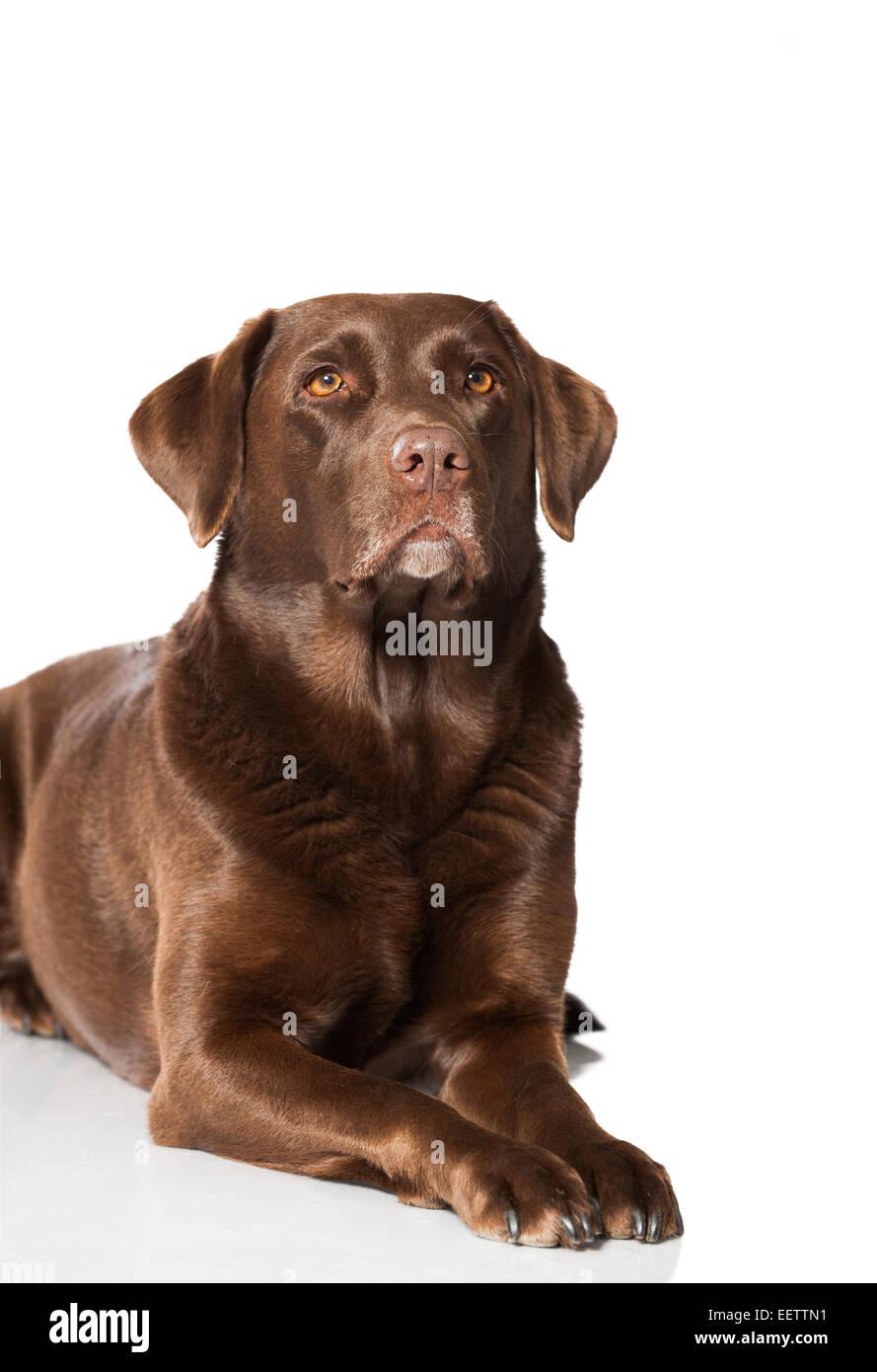 Labrador Retriever Weiß