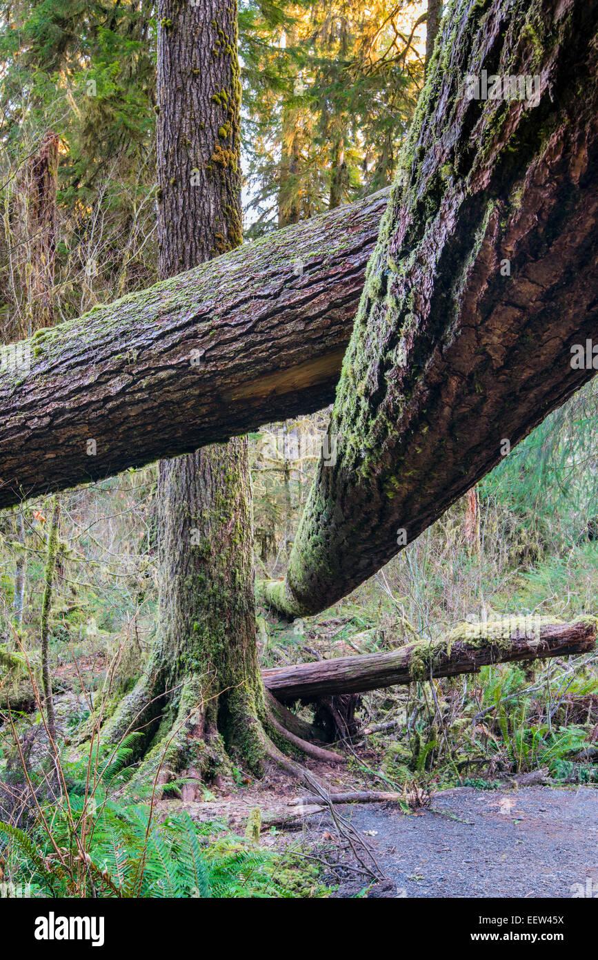 Hoh Regenwald, Olympic Nationalpark, Washington, USA Stockbild