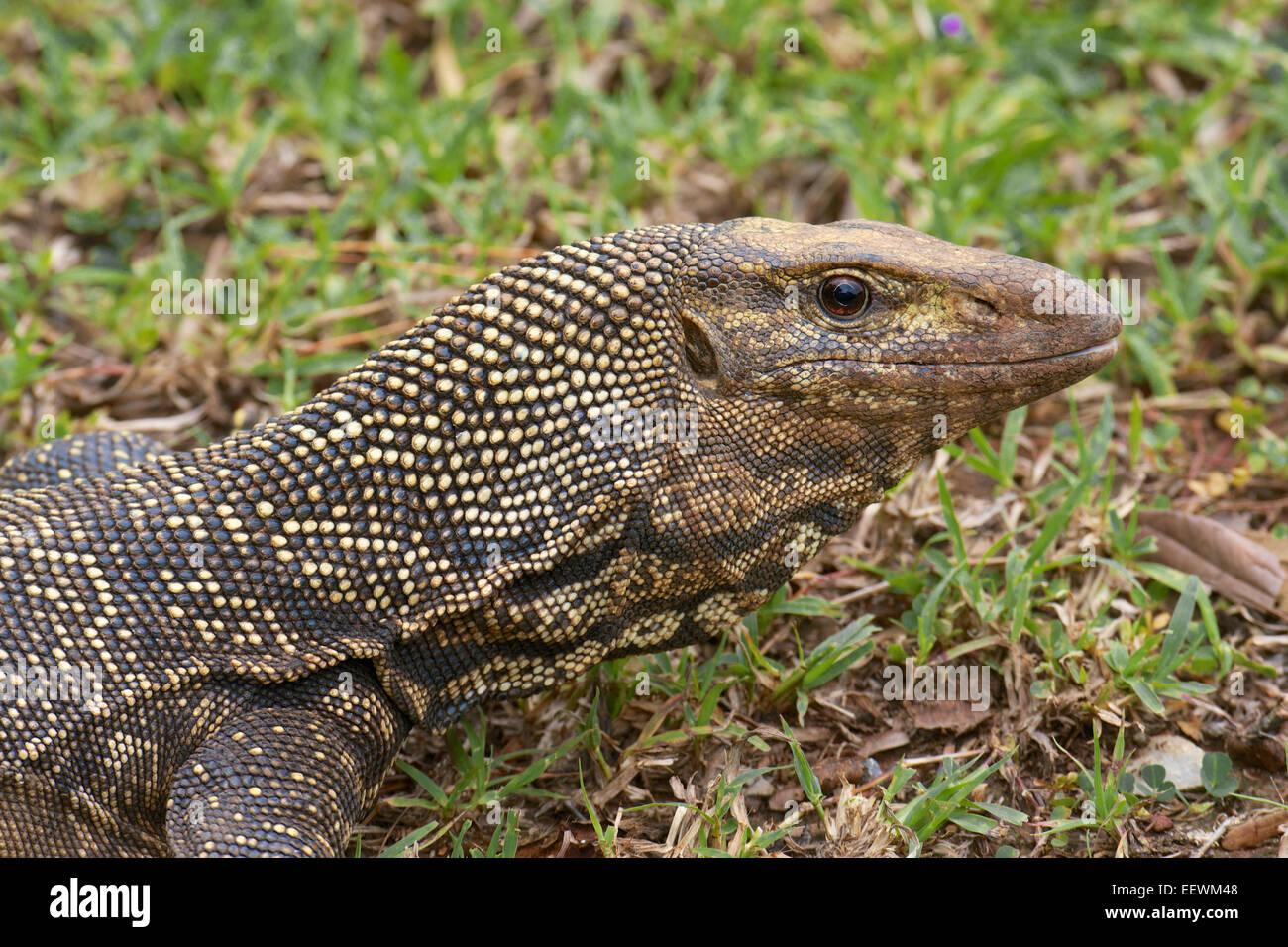 Getrübte Monitor - Varanus Nebulosus. Seine Färbung umfasst gelbe ...