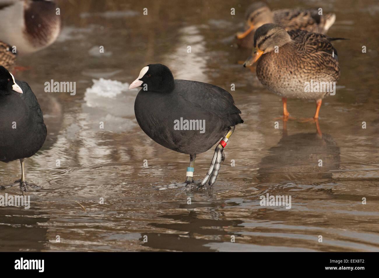 Wenn die Seen das Einfrieren ist ein guter Zeitpunkt um die Farbringe auf Wasservögel wie dieses Blässhuhn Stockbild