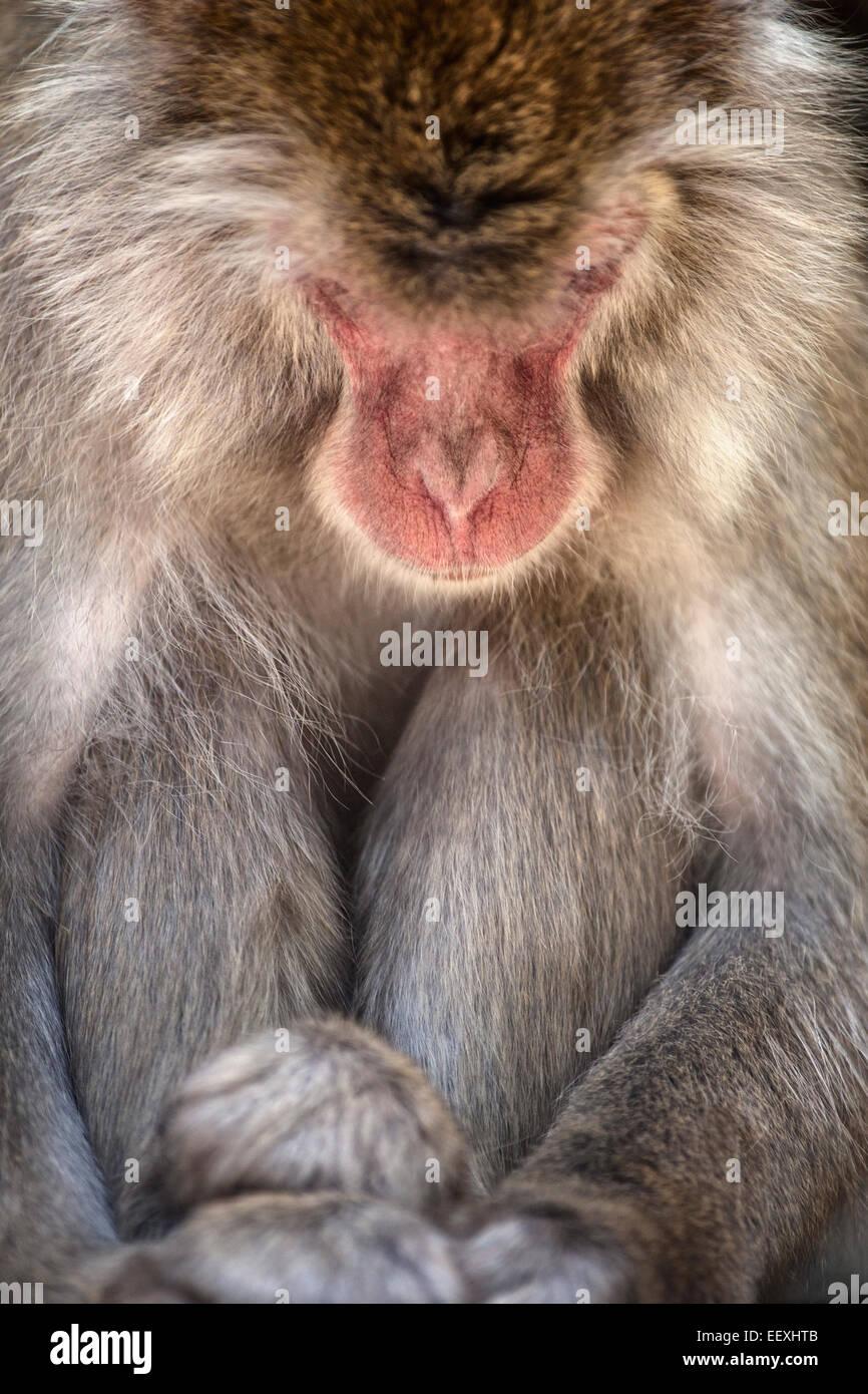 Japanischen Makaken Stockbild
