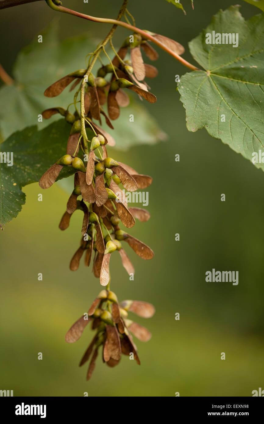 Ahorn Zweig mit Blättern und Samen Stockbild