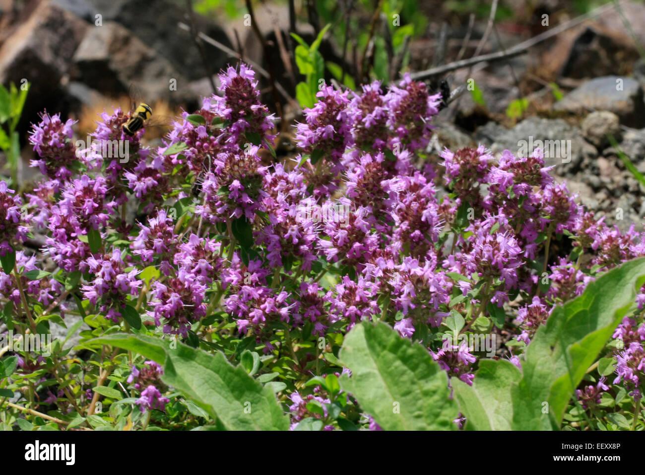 Wilder Thymian oder genannt Thymian (Thymus Serpyllum L.). Der ...