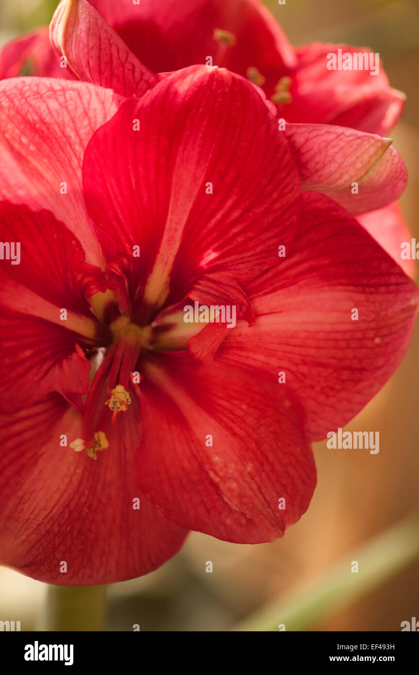 Hippeastrum Winter Bluhende Zimmerpflanze Gluhlampe Stockfoto