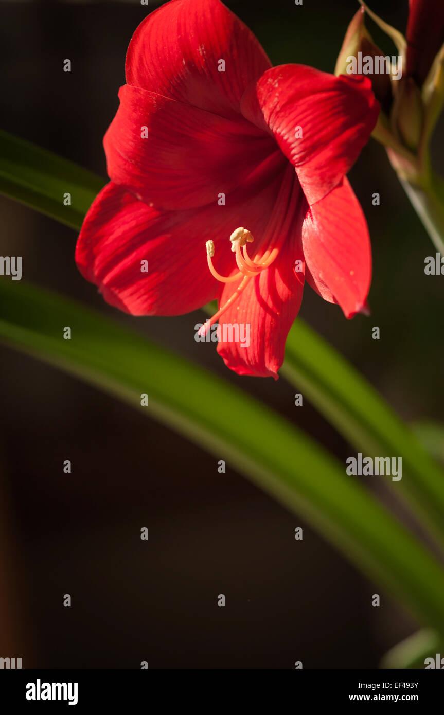 Hippeastrum Red Lion Winter Bluhende Zimmerpflanze Gluhlampe