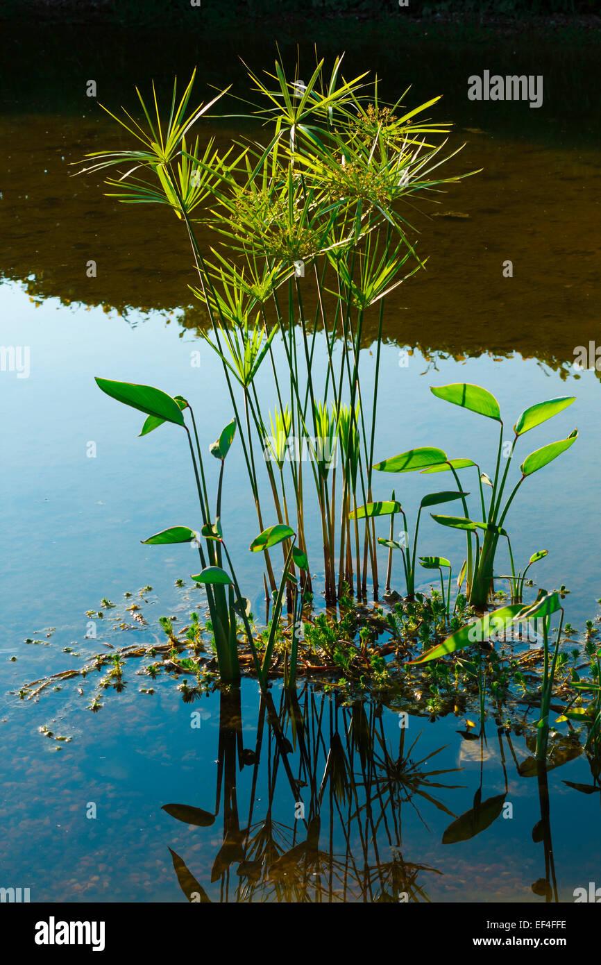 grüne Natur Pflanzen Wasser Spiegelung Stockbild