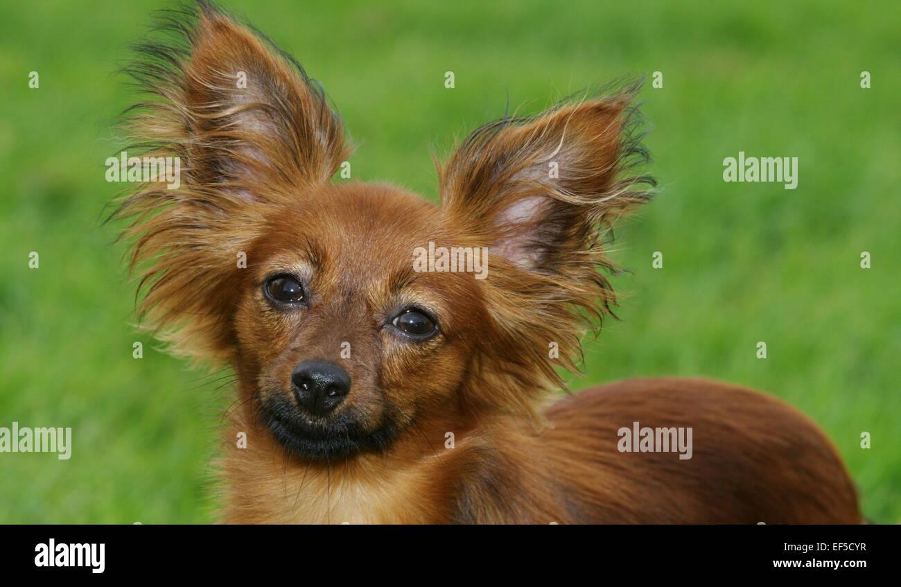 Russkiy Toy Portrait, Porträt, Sieht in Die Kamera, Russkiy Toy muß Miniatur Terrier Moskauer Toy Terrier Stockbild