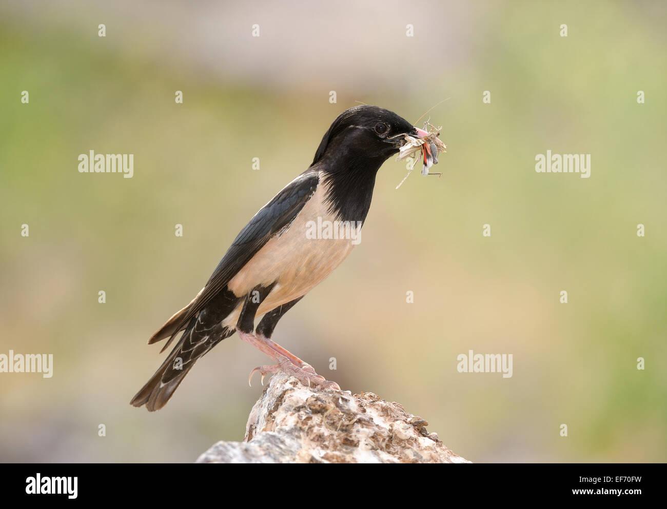 Rosig Pastor in Sorbulak See, Südkasachstan, Vogel mit Beute Stockbild