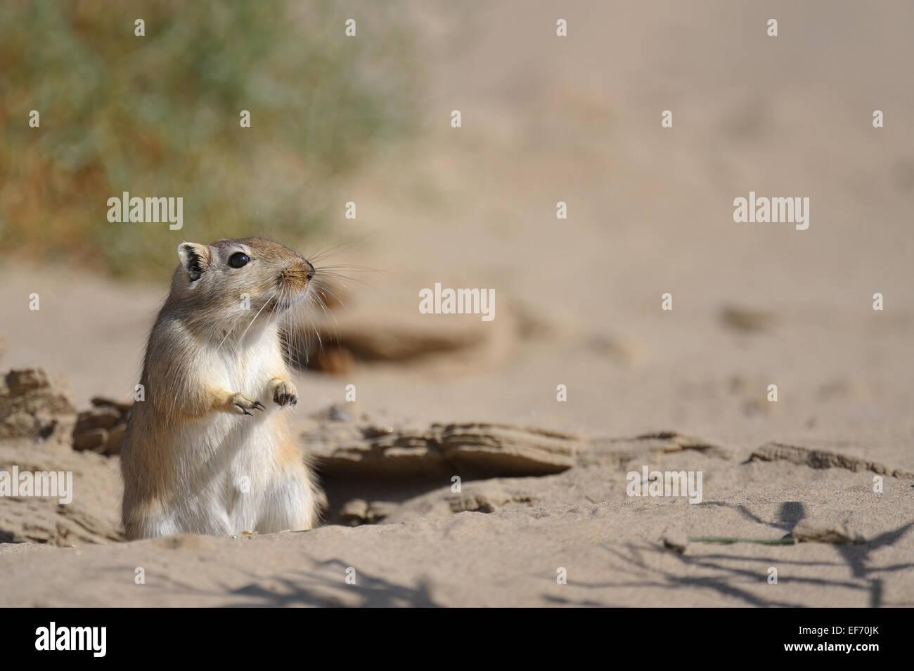 Große Rennmaus, Rhombomys Opimus in Sandwüste Stockbild