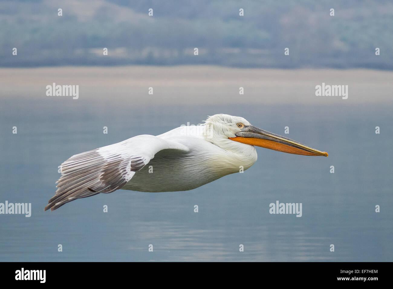 Krauskopfpelikan (Pelecanus Crispus) fliegt über eine in der Nähe von noch See Kerkini in Nordgriechenland Stockbild