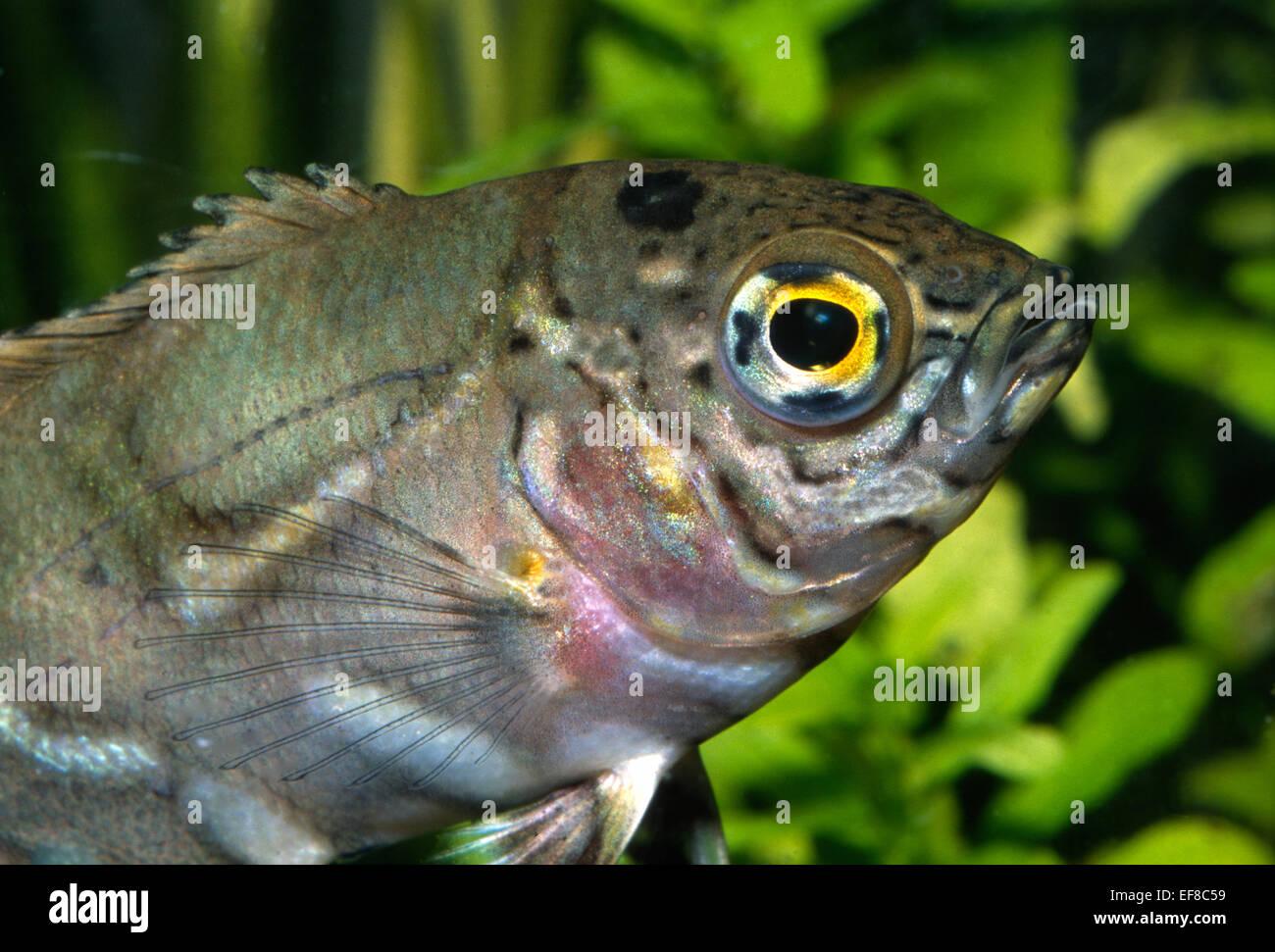 Junge Oscar Astronotus Ocellatus Buntbarsche, Südamerika Stockbild
