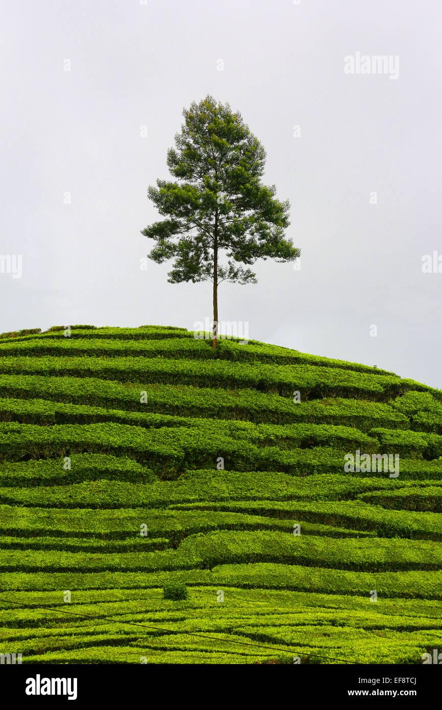 Einsamer Baum in Teeplantage, Ciwidey Dorf, Bandung, Indonesien Stockbild