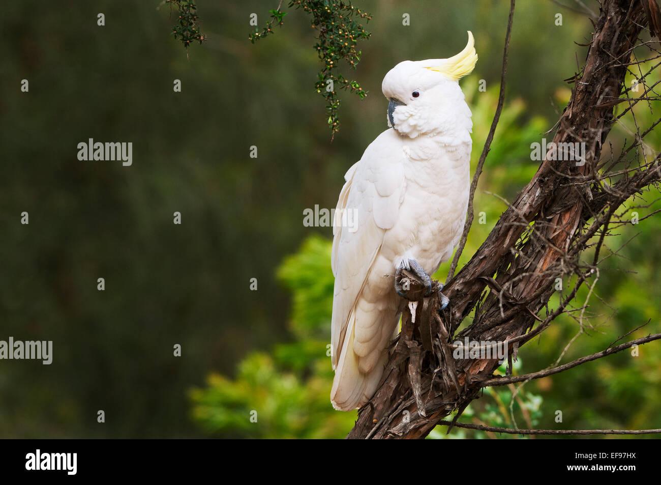 Schwefel-crested Cockatoo sitzt in einem Baum. Stockbild
