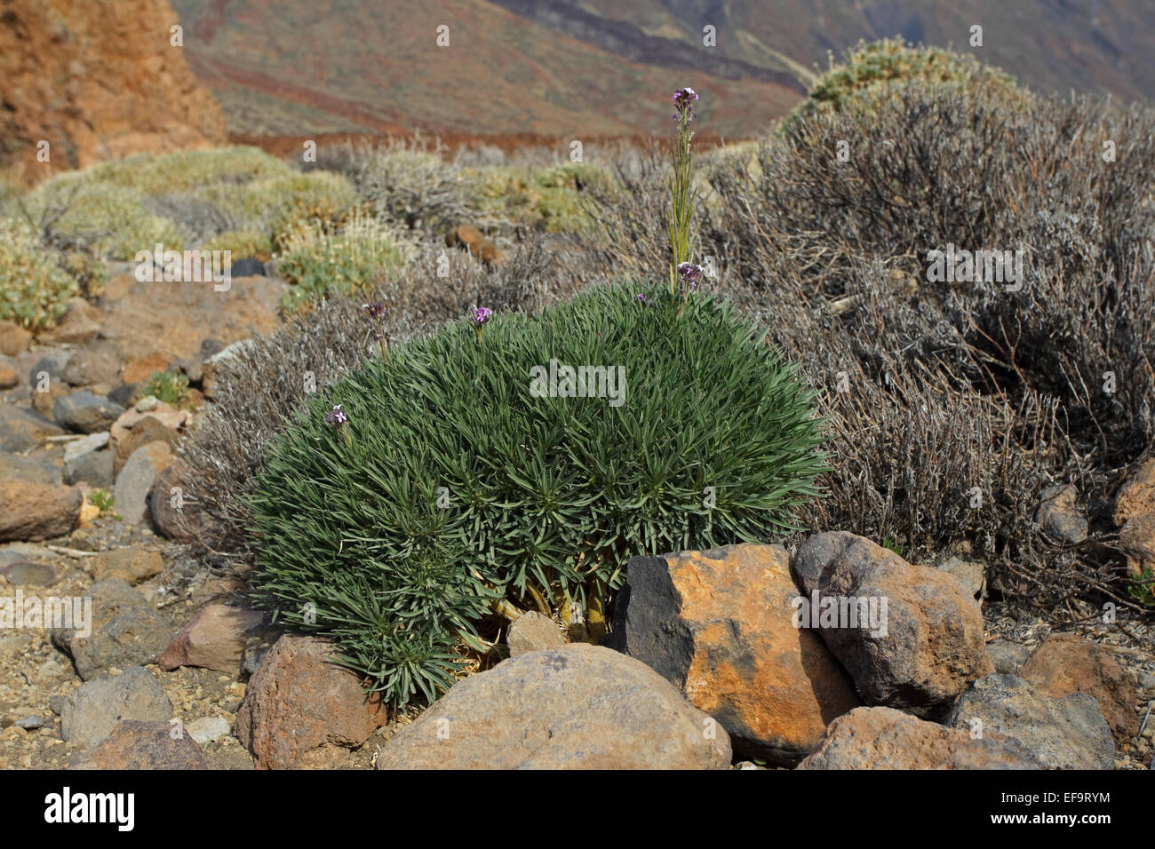 Teide-Margarita, Teide Mauerblümchen (Wegrauke Scoparium), Brassicaceae, Las Cañadas del Teide, Teneriffa Stockbild