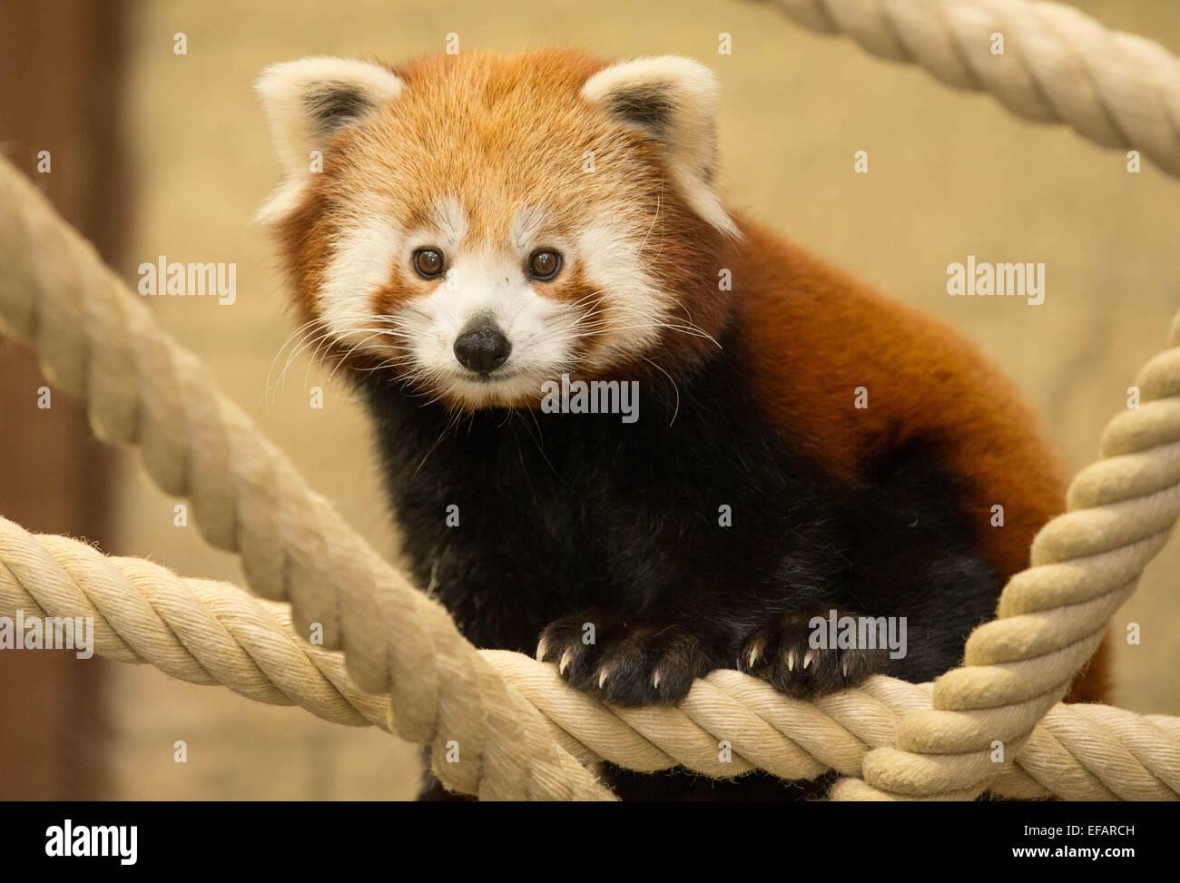 Osnabrück, Deutschland. 30. Germany, 2015. Ein roter Panda namens Yang ist im Zoo Osnabrück, Deutschland, Stockbild